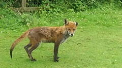The old Fox (keith.gallie) Tags: old nature video warrington cheshire reserve clip moore fox
