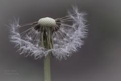 les dsirs....  (desires) (l'imagerie potique) Tags: limageriepotique poeticimagery desires dsirs rumi pissenlit dandelion gouttelettes dewdrops macro