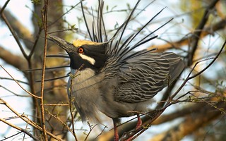 Yellow-crowned Night-Heron ( Nyctanassa violacea) YCNH - Male breeding display