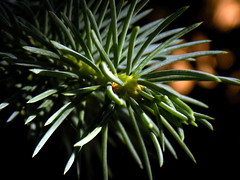 Colorado Blue Spruce (andrea.nelms) Tags: california blue tree green pine spring nikon colorado grow growth fresno coolpix needles spruce l330