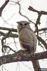 Spot-Bellied Eagle Owl (Juvenile) (subhramani) Tags: birds nocturnal wildlife owl perch mammals birdwatching bandipur birdphotography alarmcall mudhumalai junglelodgesresort spotbelliedeagleowl