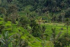 rice field (Karl-Heinz Bitter) Tags: trees bali field rice terrace jungle grn bume reisfeld weltkulturerbe jatiluwih reisterrassen khbitter