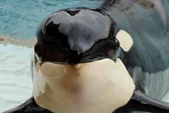 Valentin (MaudZarella) Tags: killer whale orca valentin antibes marineland cetacean orcinus orque ctac epaulard
