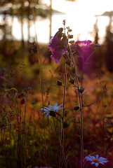 DSC_5910 (Elin Moll) Tags: pink flowers light sunset summer flower macro nature up closeup close purple botanic makro botanics