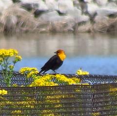 IMG_1767-1 Yellow-headed Blackbird (John Pohl2011) Tags: bird canon john pohl perching sx50hs canonsx50hs