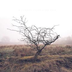 Braidwood woods (Stuart Stevenson) Tags: uk trees mist tree misty fog woodland reeds landscape photography scotland spring squareformat marshy gbr clydevalley southlanarkshire stuartstevenson braidwoodwoods