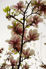 Magnolia Trees in Bloom (ott1004) Tags: berlin dahlem 베를린 magnoliatreesinbloom 친구집 목련화 달렘 unterdemmagnolienbaum