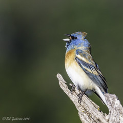 Lazuli Bunting (Bob Gunderson) Tags: california birds northerncalifornia southbay buntings santaclaracounty lazulibunting passerinaamoena canoneos7dmarkii