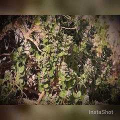 #فيديو #نباتات #زهور #تصويري #video#plants #flowers  #plant #flower #فيديوات #ازهار #زهرة #ورده #videos #rose #roses #nature #car #sun  #landscape #Saudi_Arabia  #السعودية #beautiful  #tree  #sony #a57 #السعوديه #saudiarabia #ksa#sa (photography AbdullahAlSaeed) Tags: flowers roses plants sun plant flower tree nature beautiful car rose landscape video sony sa saudiarabia videos ksa زهرة a57 نباتات تصويري السعودية ورده السعوديه زهور فيديو ازهار فيديوات