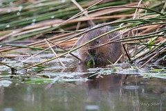 _DSC0968 (Andy Silver) Tags: andy water vole voles andy999
