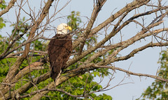 Bald Eagle by Steve Gifford (Steve Gifford - IN) Tags: bird nature birds cane photo adult eagle wildlife steve bald picture indiana ridge management mature photograph area steven society audubon gifford ias haubstadt
