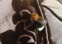 Tree Bumblebee - Bombus hypornum