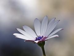 Very pretty daisy (VillaRhapsody) Tags: flowers flower nature dof purple daisy africandaisy cy2 challengeyouwinner platinumheartaward cyunanimous