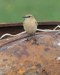 Isabelline Wheatear (Wild Chroma) Tags: birds kazakhstan wheatear oenanthe naturetrek passerines oenantheisabellina isabellina