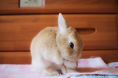 IMG_6267-1-2 (Rabbit's Album) Tags: pet cute rabbit bunny animals coco       canonx7i x7i efs24mmf28stm