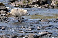 Agile Fording (JDWCurtis) Tags: ford nature animal river nationalpark sheep farm breconbeacons brecon breconbeaconsnationalpark bbcwalesnature