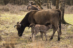 Not even a day old....... (lindabosmuis) Tags: baby nature netherlands animals canon cows natuur justborn kalf 6d 70200mm leersumseveld heckrunderen heckcattle