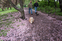 cherry blossoms, central park (Charley Lhasa) Tags: nyc newyorkcity flowers dog ny newyork petals pattern path iso400 centralpark manhattan noflash trail cherryblossoms blooms uncropped charley cherrytrees lightroom lhasaapso nycparks kwanzan aperturepriority kwanzancherry dng flagged grii fallenpetals 2stars adobelightroom 0ev charleylhasa 183mm ricohgrii secatf28 28mm35mmequivalent uploaded160518022422 httpstmblrcozpjiby26dtddg tumblr160517 lightroomcc201551 adobelightroomcc201551 r006404 taken160507085424