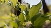 Echtes Salomonssiegel kurz vor der Blüte (Role Bigler) Tags: flower forest schweiz switzerland suisse bokeh blume wald emmental lilyofthevalley burgdorf polygonatumodoratum asparagaceae bokehlicious echtessalomonssiegel spargelgewächs canoneos5dsr tamronsp45mmf18divcusd