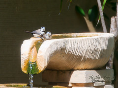 Double-barred Finches (stormgirl1960) Tags: bird water animal bath wildlife pair australia darwin finch splash northernterritory feathered birdlife doublebarredfinch