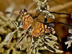 Vanessa annabella (carlos mancilla) Tags: insectos butterflies mariposas vanessaannabella olympussp570uz