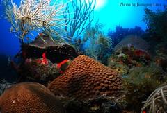 Boulder coral (FWC Research) Tags: fish coral florida wildlife conservation research habitat floridakeys fwc fwri bouldercoral coralrestoration myfwc myfwccom