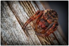 l'araigne rouge (Paloudan) Tags: spider araigne araignerouge saltique