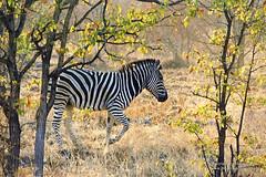 SCAN1152.jpg (artistictace) Tags: animals mammals equines burchellszebra