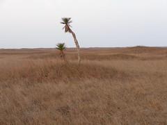 Yucca trees (amir85) Tags: texas grassland padreislandnationalseashore grasslandsnaturetrail