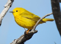 Yellow Warbler (Setophaga petechia) (Nature In a Snap) Tags: park bird beach nature yellow island berkeley state wildlife birding nj birdwatching warbler ibsp 2016 petechia setophaga