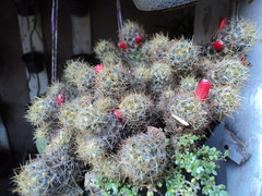 DSC06591 (Megaolhar) Tags: flores toy flickr do dia vale paulo apa bom inverno so campos facebook tuka jordo paraba fazendinha 2016 youtube ibama twitter jardinagem bioma gomeral