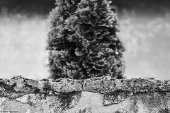 Mannheim Seckenheim 1 (rainerneumann831) Tags: blackwhite mannheim mauer thuja seckenheim lebensbaum unschrfe konifere