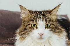 Every breath you take (miyukiz4 su ood) Tags: cat kitten gatinho gatito ktzchen chaton  gttino