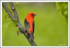 Scarlet Tanager male (lindapp57) Tags: scarlet tanager