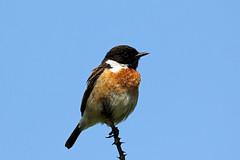 Stonechat (NickWakeling) Tags: nature birds wildlife norfolk horsey stonechat canon60d malestonechat sigma150600mmf563dgoshsmcontemporary