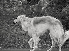 Picture Perfect (Proper Photography) Tags: light blackandwhite dog pet pets silly love dogs nature goofy canon outside outdoors happy spring natural sigma content happiness naturallight canine joyful springtime borzoi 2016 petdog sigma70300 sigmalens russianwolfhound properphotography canoneos7d spring2016