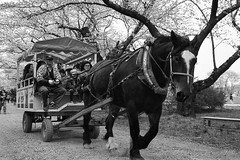 20160416-14 (GenJapan1986) Tags: 2016 ilfordhp5plus nikonnewfm2         japan animal horse iwate  film blackandwhite  cherryblossom