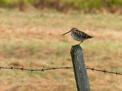 Wilson's Snipe, seen from afar (annkelliott) Tags: canada bird nature fence spring adult bokeh outdoor alberta barbedwire perched sideview ornithology avian fencepost shorebird snipe gallinagogallinago wilsonssnipe annkelliott anneelliott swofcalgary fz200 fz2003 21may2016