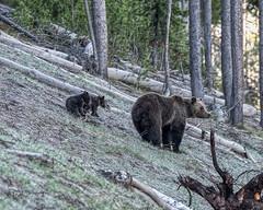 Grizzly Family (joycarl) Tags: bears yellowstone coy grizzlybear bearcubs