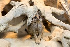 Zoo_Do_2016-42.jpg (Wotan1081) Tags: zoo dortmund tier erdmnnchen