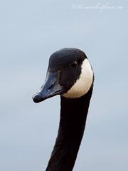 canada goose (mirrorlessplanet.com) Tags: usa bird nature wildlife maryland goose canadagoose brantacanadensis anatidae anseriformes mirrorlessplanetcom