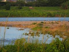 Great egrets () at Yasugawa (Greg Peterson in Japan) Tags: birds japan wildlife rivers jpn shigaprefecture egretsandherons yasugawa rittocity