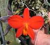 Sophronitis bicolor (cieneguitan) Tags: red lan species bunga orkid okid angrek anggerek