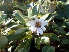 Olearia oporina (dracophylla) Tags: newzealand asteraceae codfishisland oleariaoporina whenauhoa