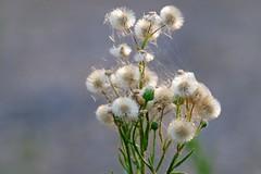 dandelions & webs (Rodrigo Uriartt) Tags: dandelions webs flowers goldenhour telemacro macro light magicallight nofilter nocrop byhand nature israel bokeh fujifilm xe2 softfocus