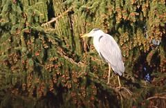 Reiher (sonjasfotos) Tags: reiher fischreiher graureiher natur vogel tanne garten baum futter teich