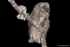 Bufo-pequeno, Long-eared owl (Asio otus) (Nuno Xavier Moreira) Tags: wildlife ngc liberdade noturna vida prey xavier nuno owls longearedowl selvagem moreira asiootus specanimal bufopequeno longearedowlasiootusemliberdadewildlifenunoxavierlopesmoreira