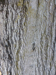 Sugar or Silver Maple Bark (Metro Transportation Planning and Development) Tags: sugar silver maple acer saccharum livable streets trees portland metro urban planning sustainability stormwater mitigation bark