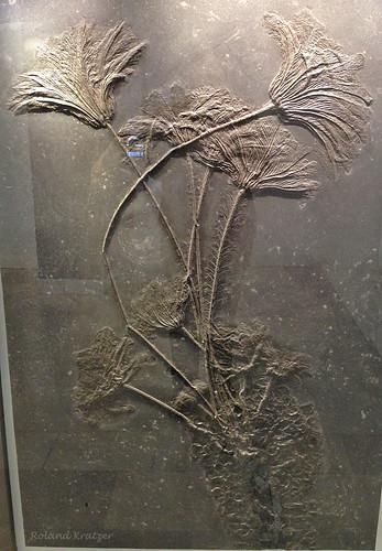 Seirocrinus subangularis Miller