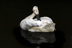 Trumpeter Swan (Cygnus buccinator) (sfrancis23) Tags: swan bird wild nature black white trumpeter cygnusbuccinator nikon d5 400mm28 tc20eiii wetland wildlife avian uk england gloucestershire